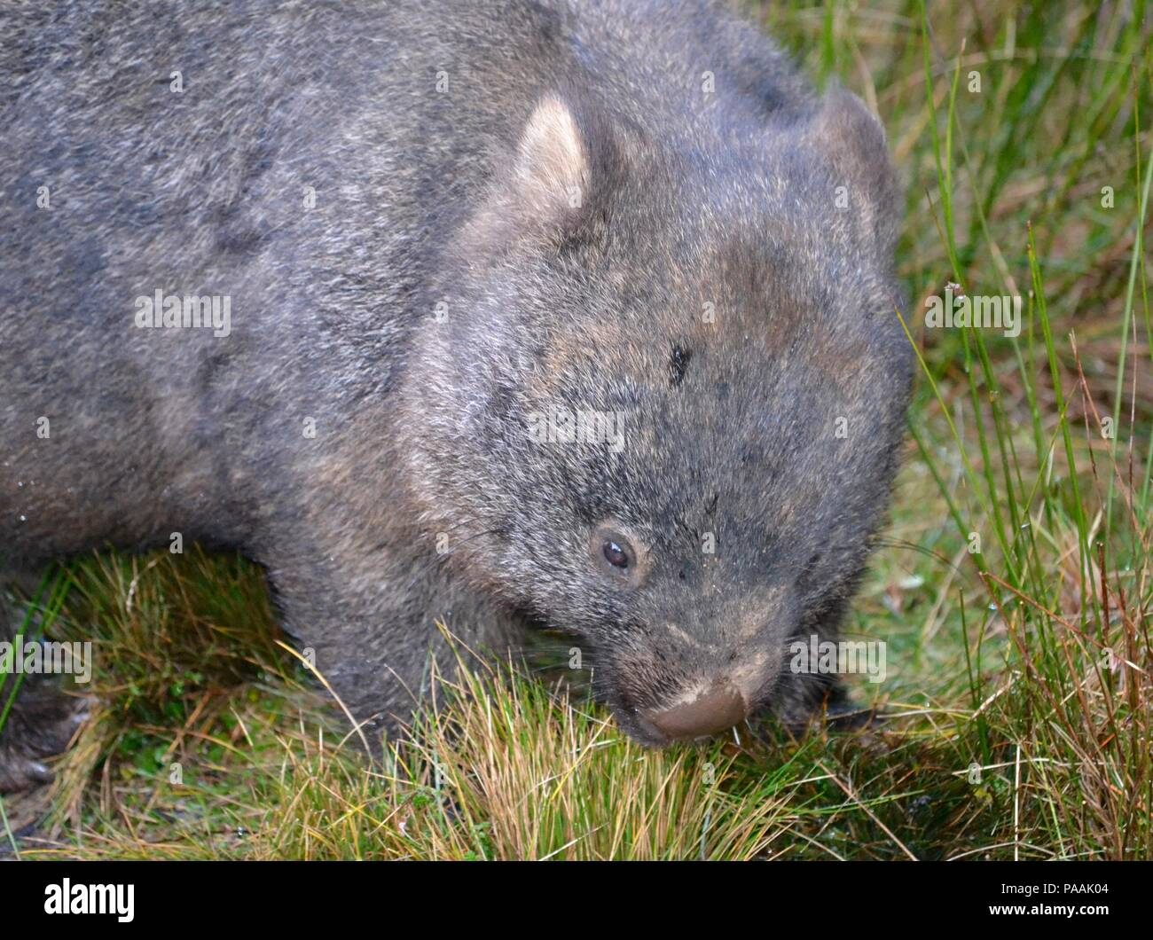 Hairy nose wombat eating grass at Cradle Mountain National Park in Tasmania - Stock Image