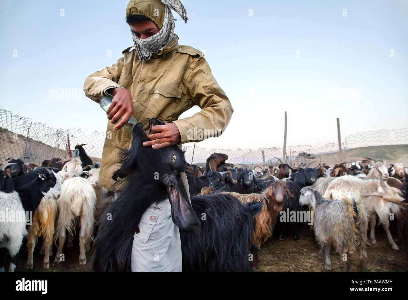 Qashqai shepherd with flock in the early morning, nomad people, Iran - Stock Image