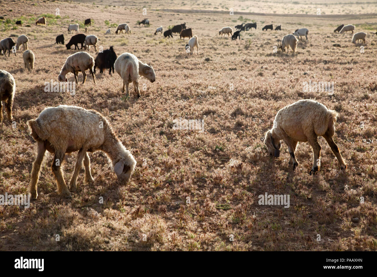 Sheeps near Qashqai nomad people camp , Iran - Stock Image