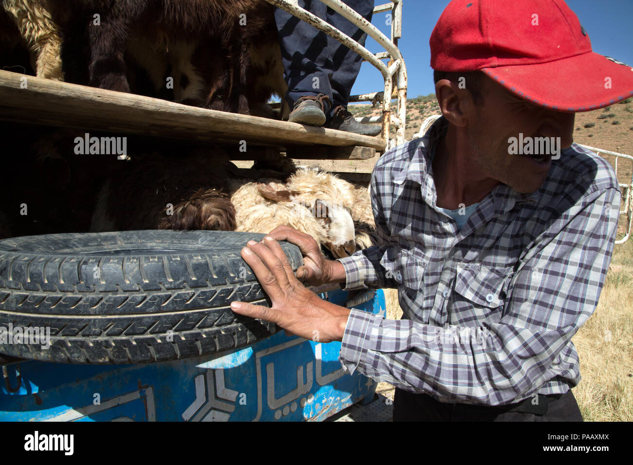 Qashqai man putting sheeps in van for selling them to Shiraz market,  nomad people, Iran - Stock Image