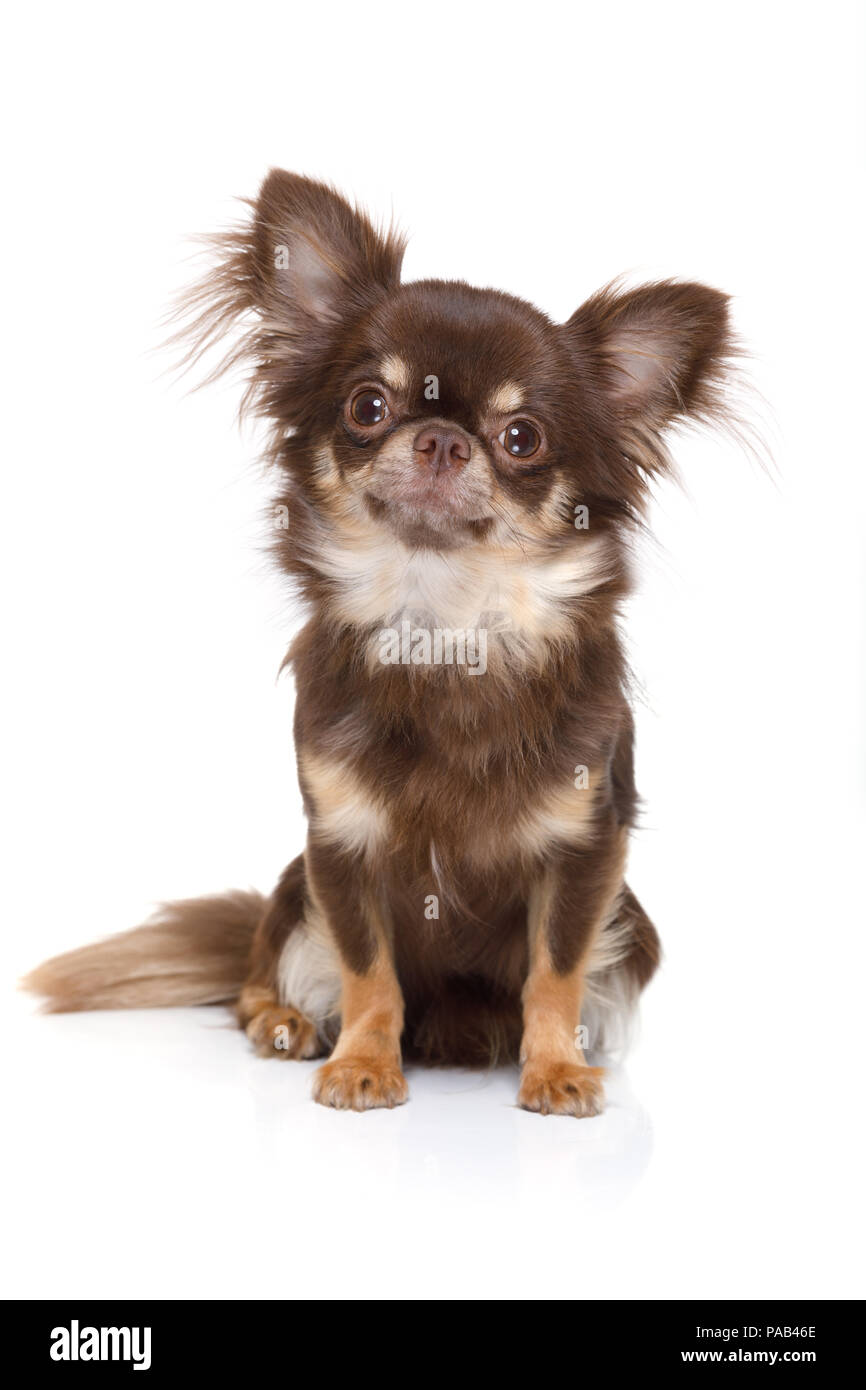 chihuahua dog waiting and looking up for owner to play  and go for a walk   , isolated on white background - Stock Image