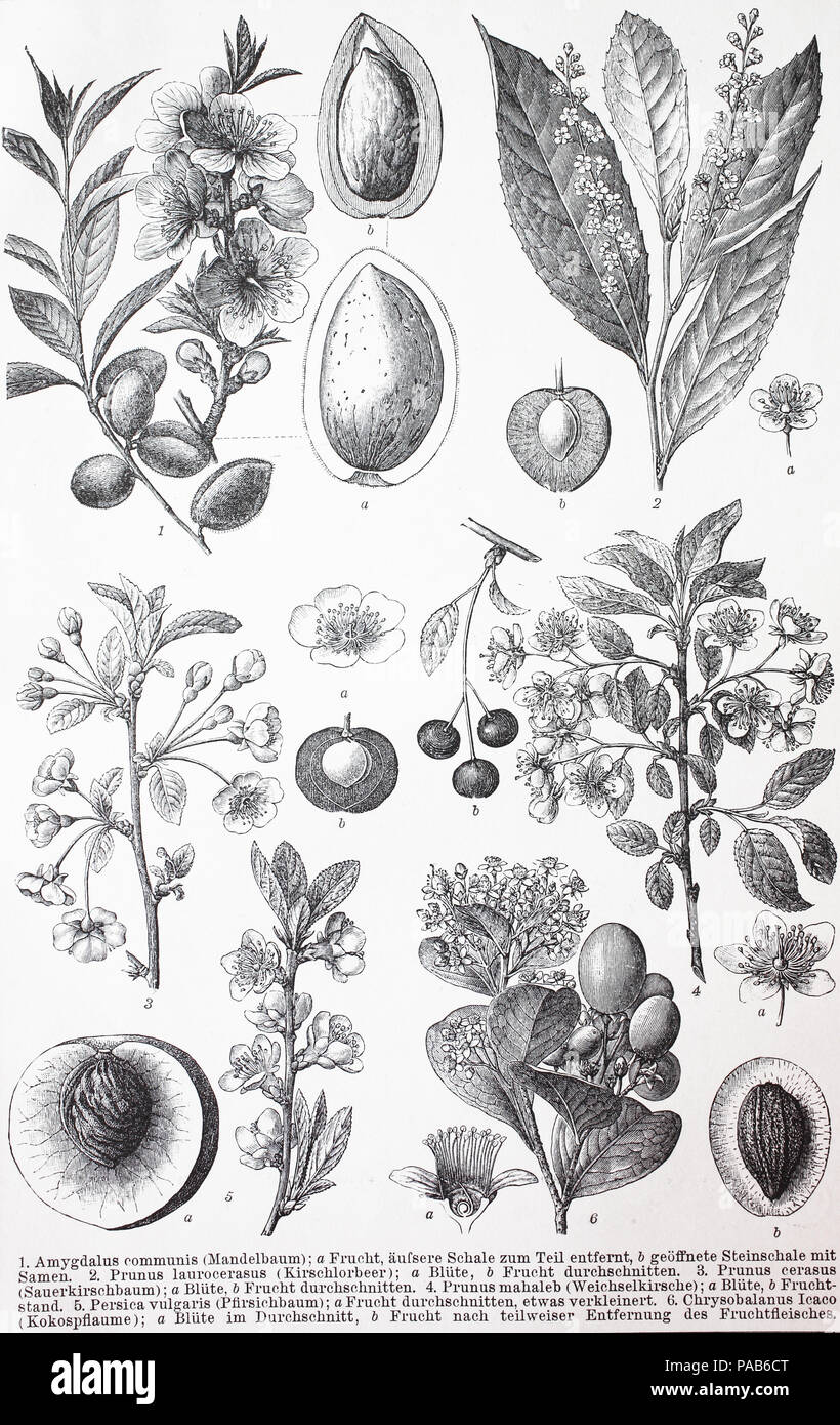 Various Rosids, Amygadalus communis, Prunus laurocerasus, Prunus cerasus, Prunus mahaleb, Persica vulgaris, Chrysaobalanus icaco, digital improved reproduction of an original woodcut print from the year 1881 - Stock Image