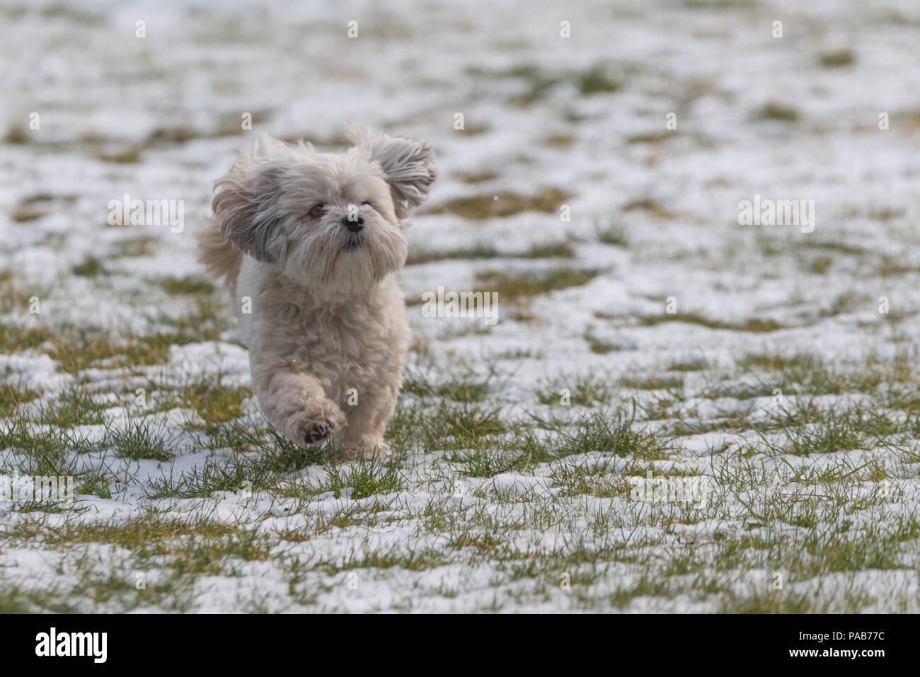 55+ White Shih Tzu Maltese Puppy