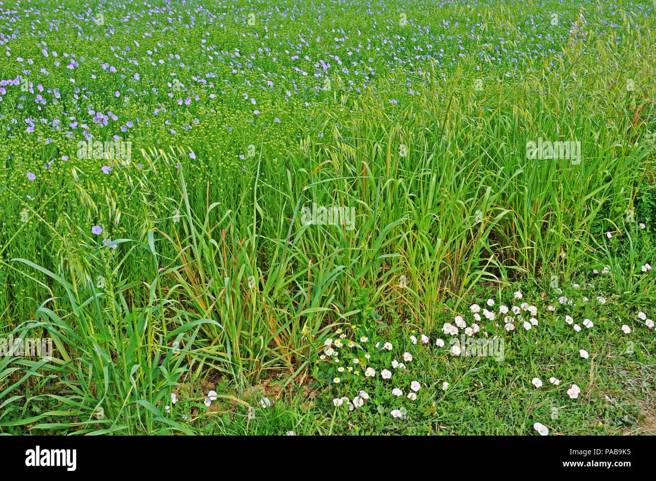 Field of Linseed in bloom.  Margins of oats, Avena fatua, and sea bindweed, Calystegia soldonella. Stock Photo