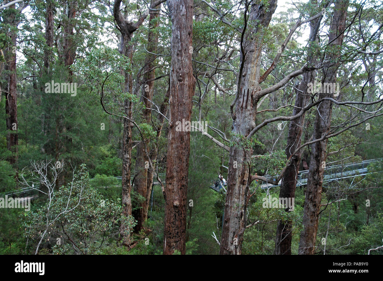 People on the Tree Top Walk, Valley Of The Giants, Denmark, Western Australia. - Stock Image