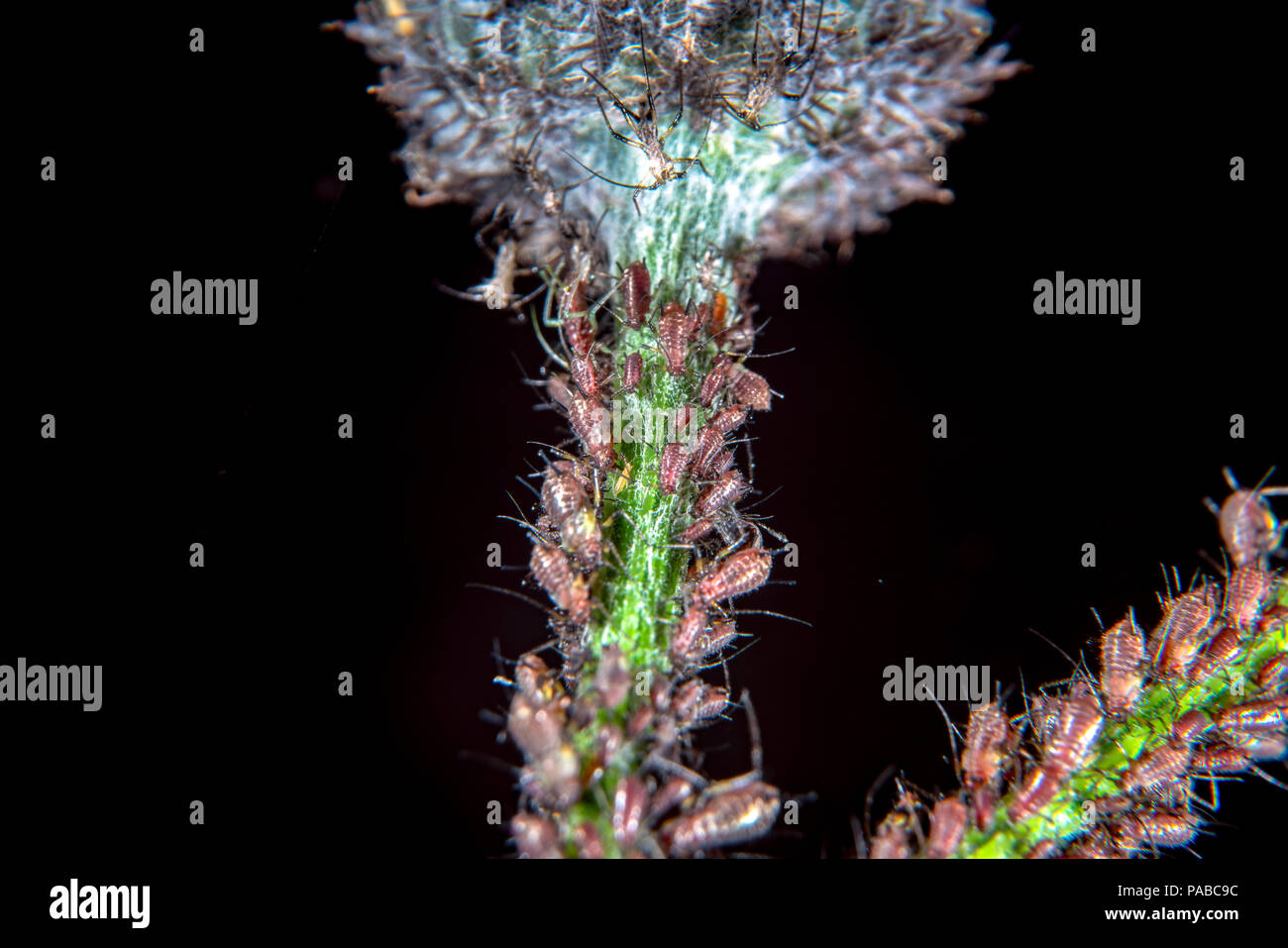 Aphids on a common thistle stem - Stock Image
