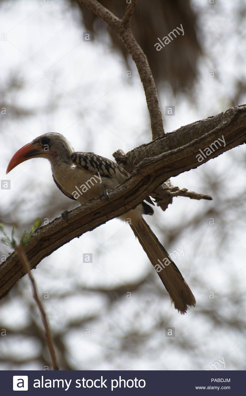 Western Red-billed Hornbill ( Tockus Kempi ), Fajara, Gambia, West Africa - Stock Image