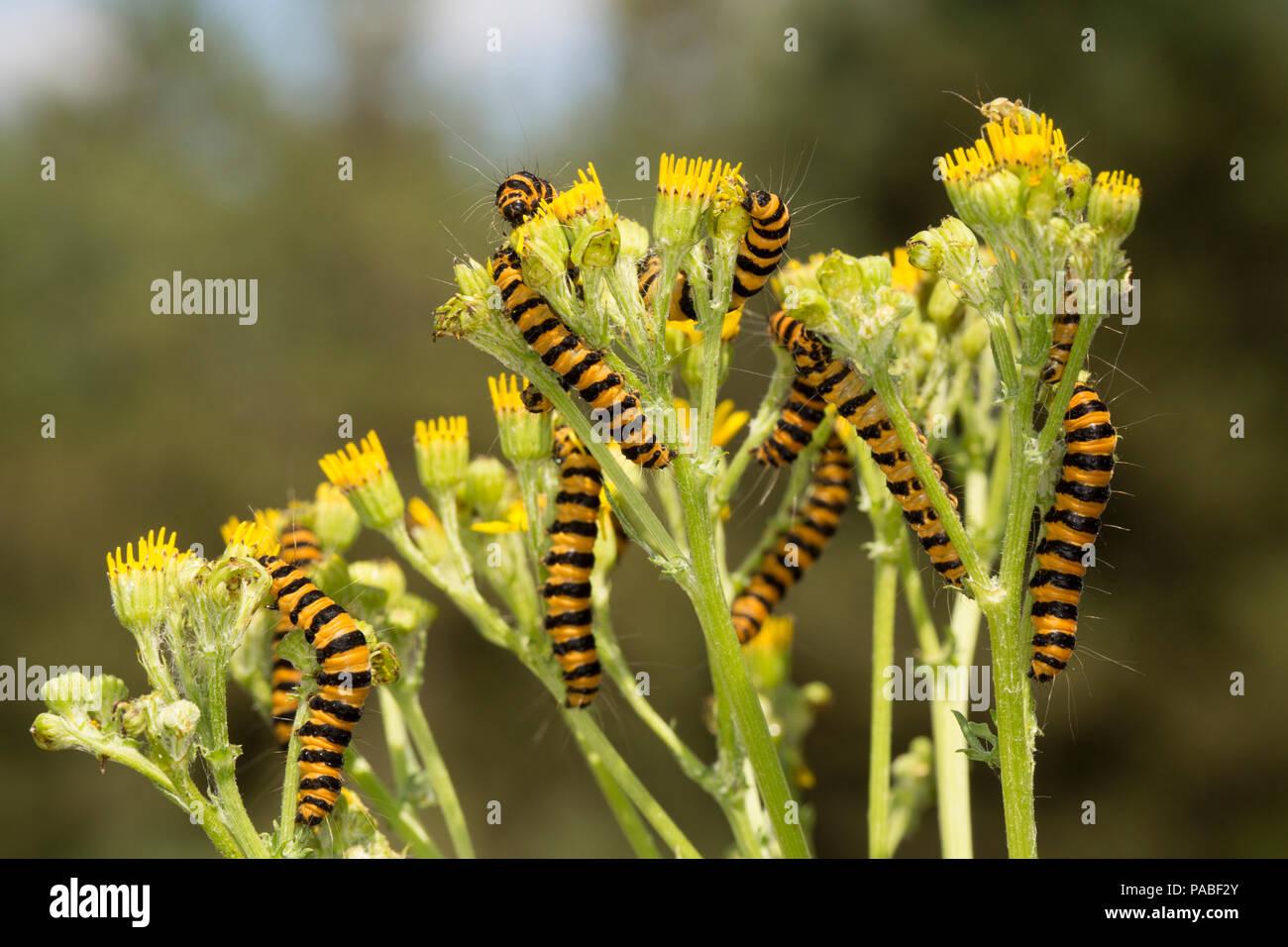 Cinnabar Moth Caterpillars Tyria Jacobaeae Feeding On