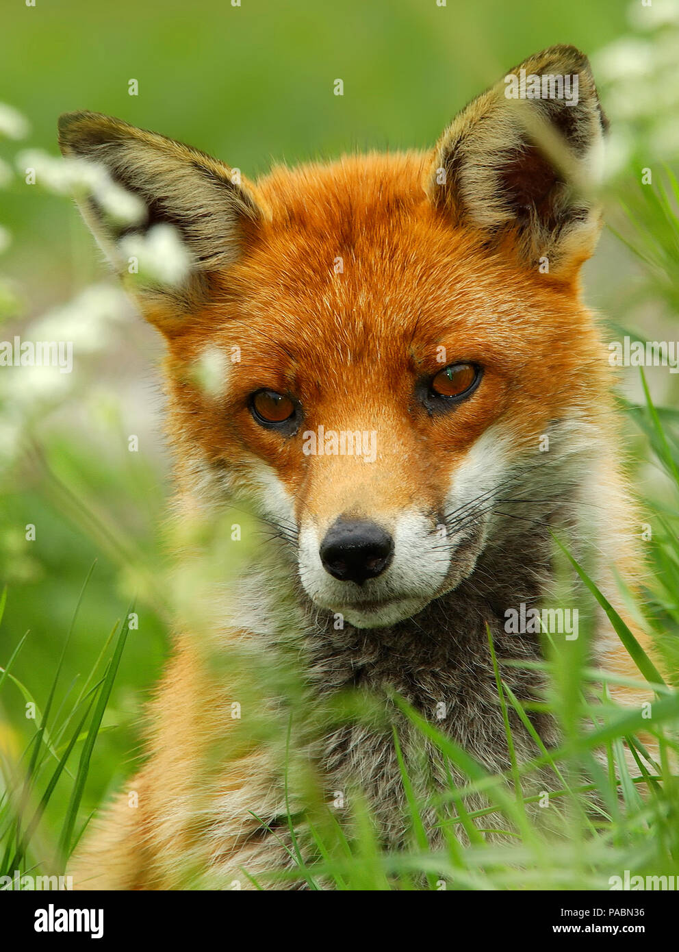Close up portrait of a beautiful adult British Red Fox (Vulpes vulpes)  looking straight forward - Stock Image