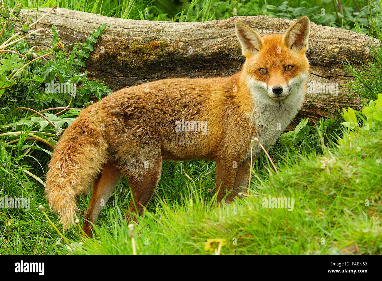 Adult European Red Fox (Vulpes vulpes) standing and looking towards the front showing the entire length of her body - Stock Image