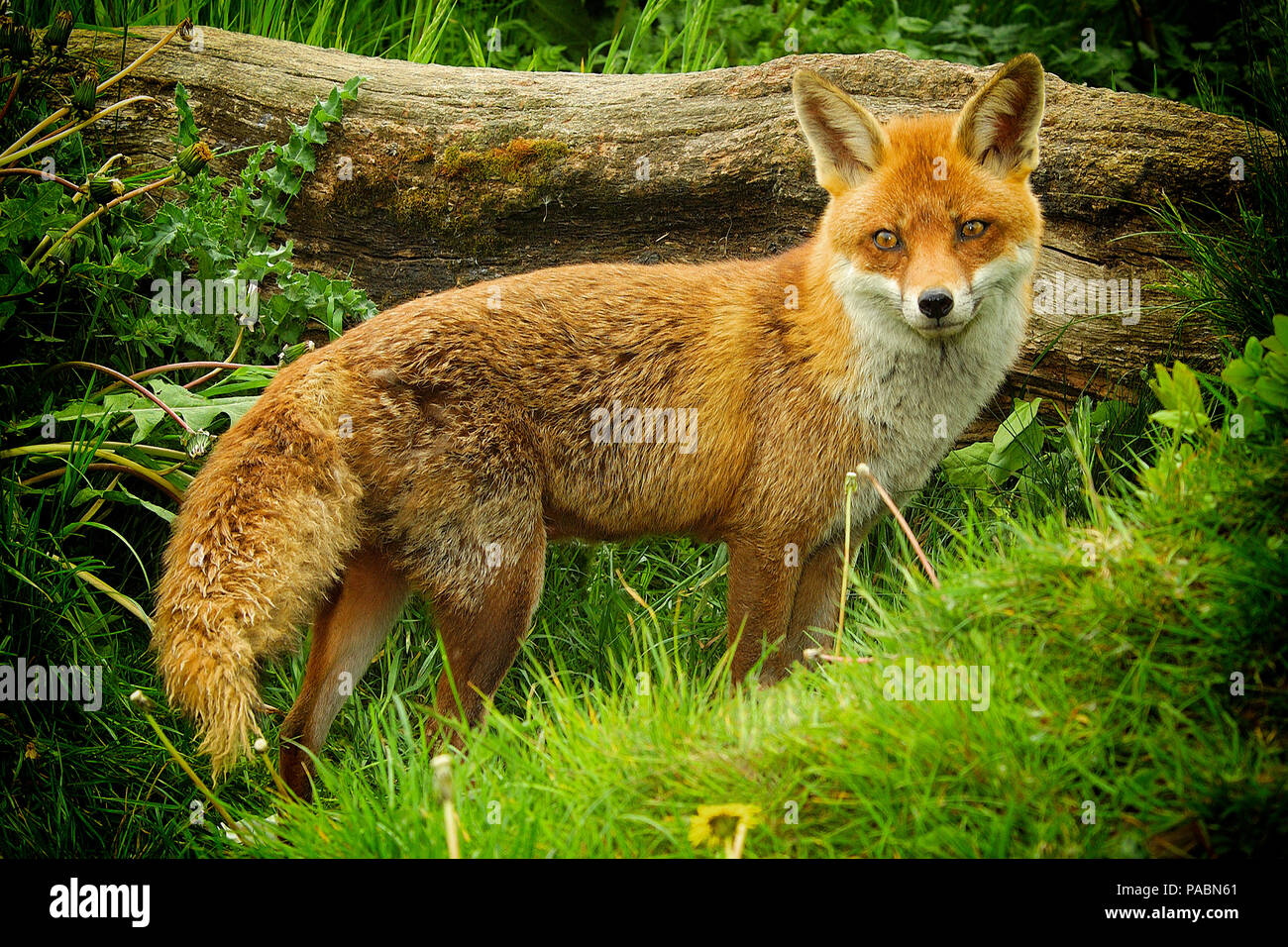 Adult European Red Fox (Vulpes vulpes) standing and looking towards the front showing the entire length of her body ( with vignetting) - Stock Image