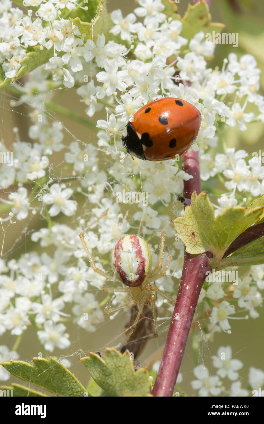 Candy striped spider (Enoplognatha ovata) with ladybird in its web - Stock Image