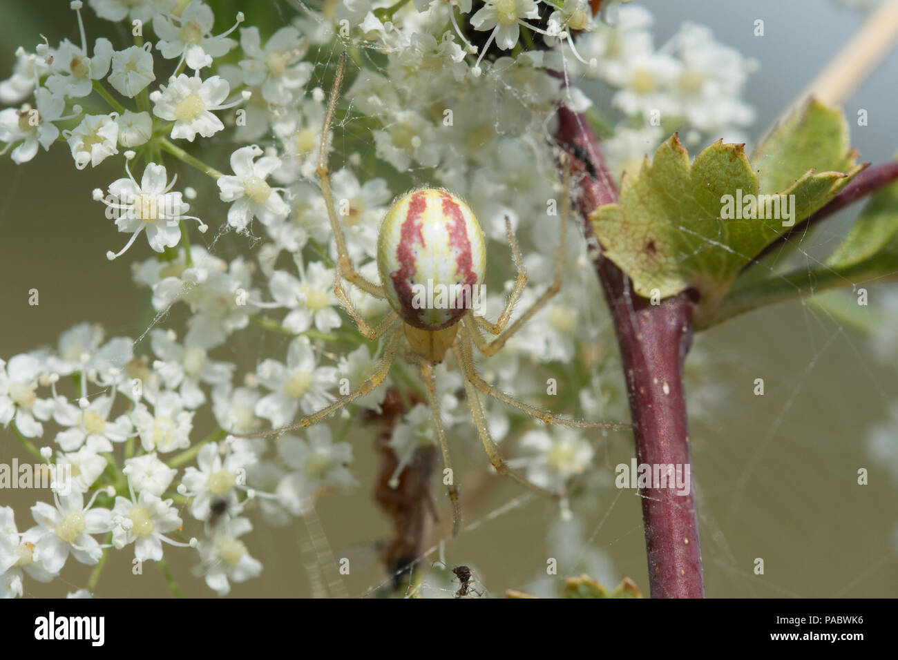 Candy striped spider (Enoplognatha ovata) - Stock Image