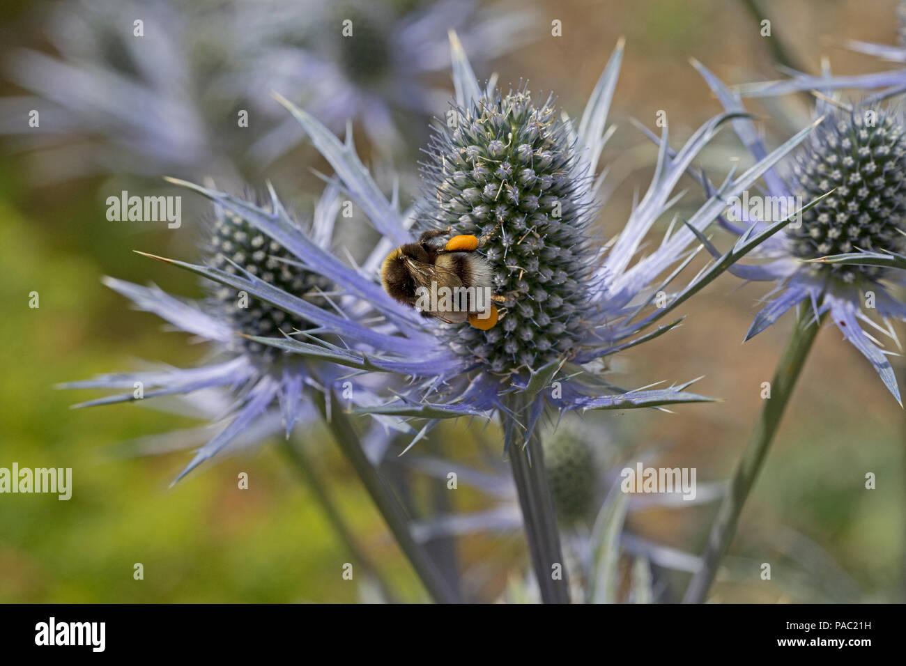 White-tailed bumblebee Bombus leucorum with full pollen sacs feeding on Eyngium flower Dumfries Scotland - Stock Image