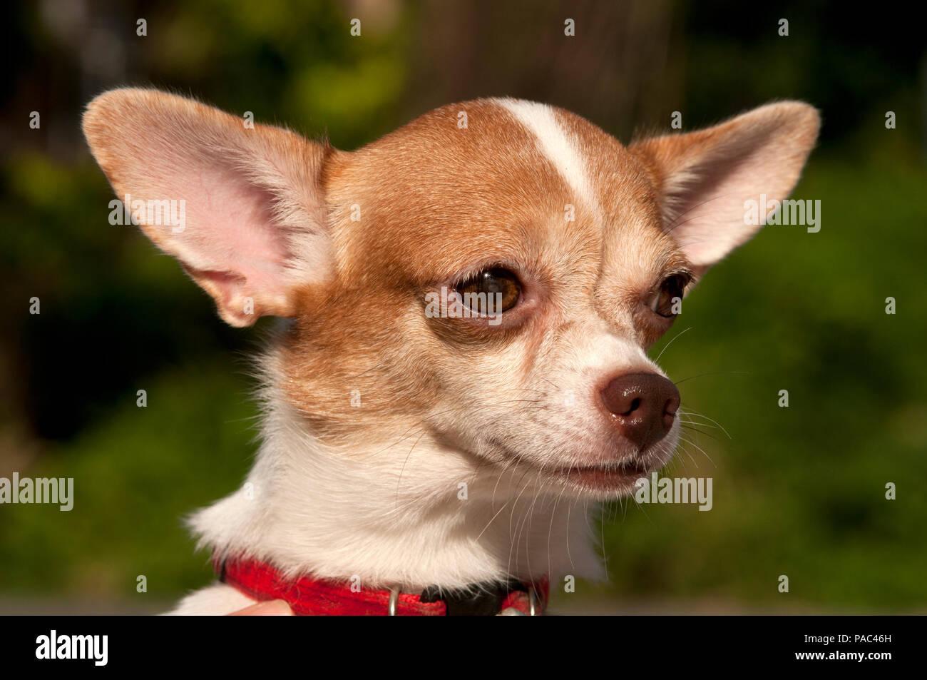Chihuahua - Portrait - Canis familiaris - Stock Image