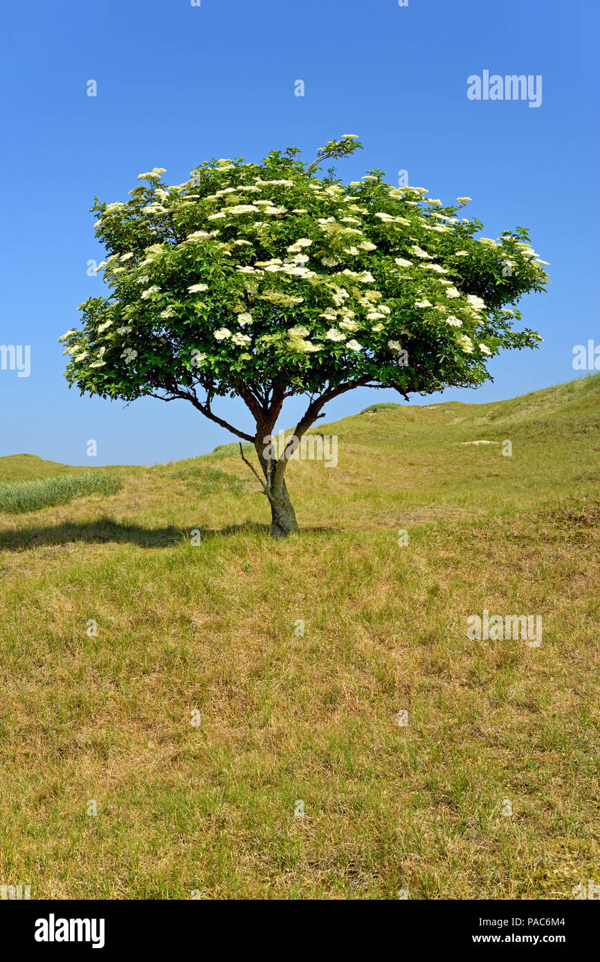 Elder (Sambucus nigra), solitary tree with flowers against a blue sky, Norderney, East Frisian Islands, North Sea, Lower Saxony - Stock Image