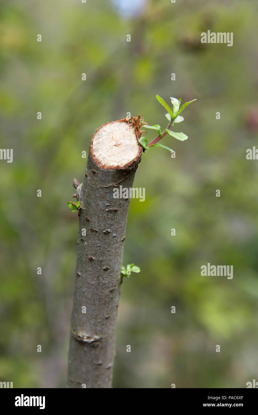 Buds on a branch at Forest Experience Centre Ziegelwiesen, Füssen, Bavaria, Germany Stock Photo