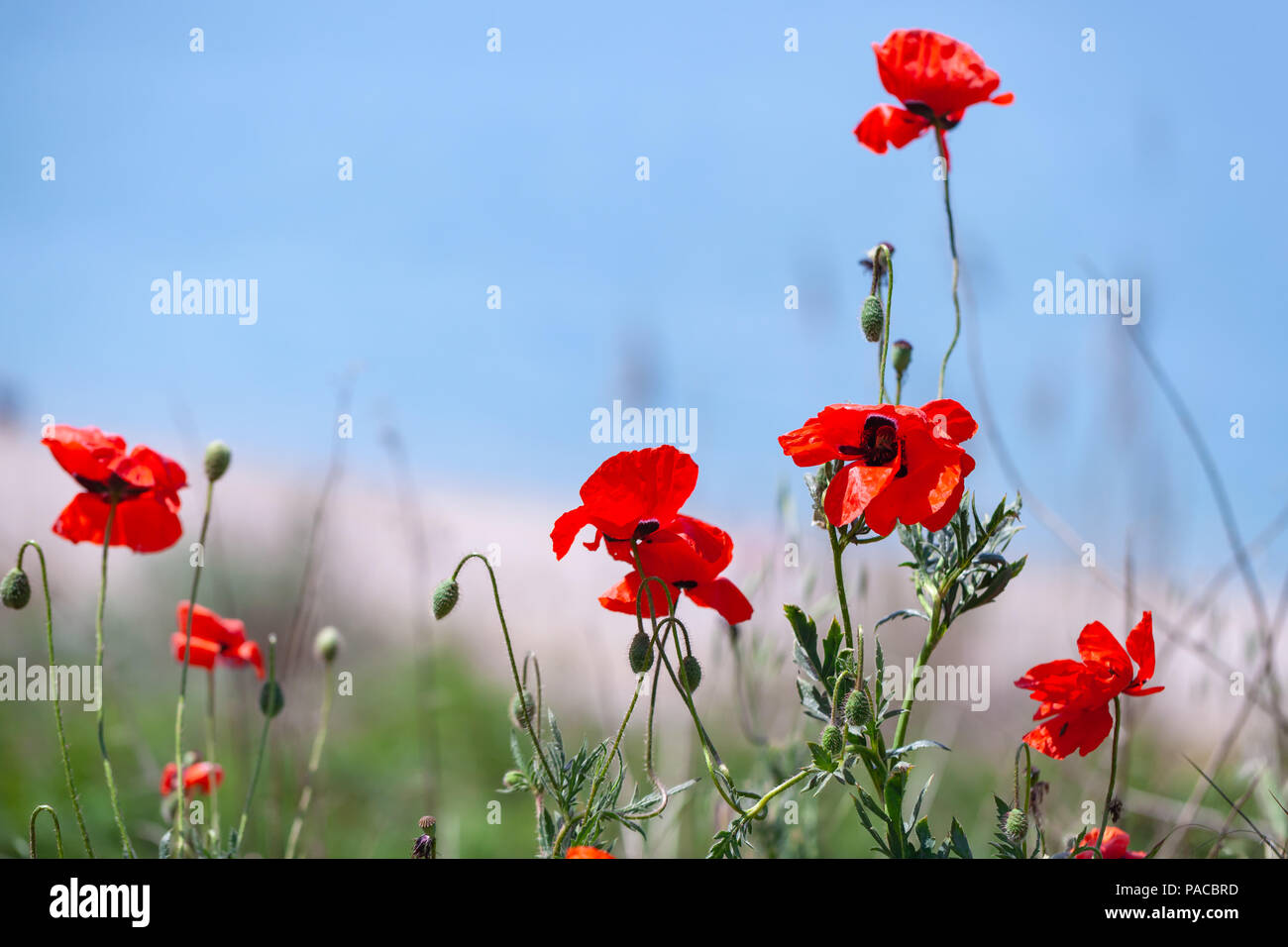 Wild Poppy Flowers Growing On Sea Coast Close Up Photo Selective