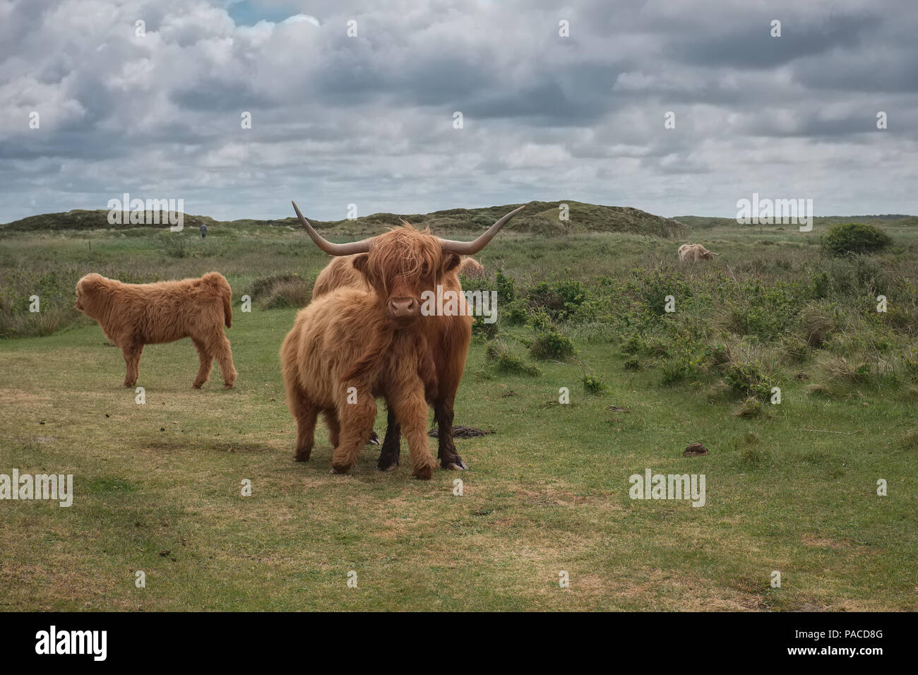 Scottish Highland cow and calf in the Dunes of Texel, the Netherlands. - Stock Image