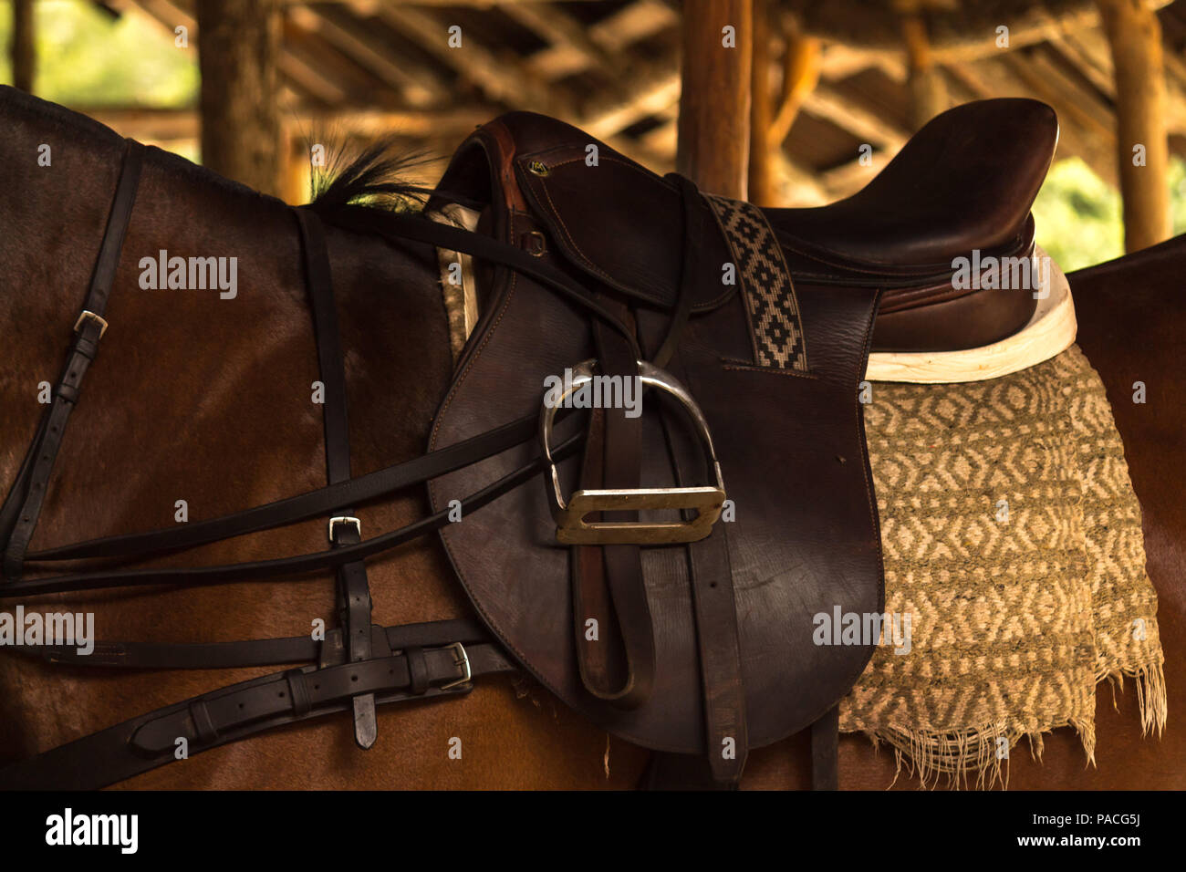 Leather saddle on polo horse. This young animal is resting in the stables before an important tournament - Stock Image