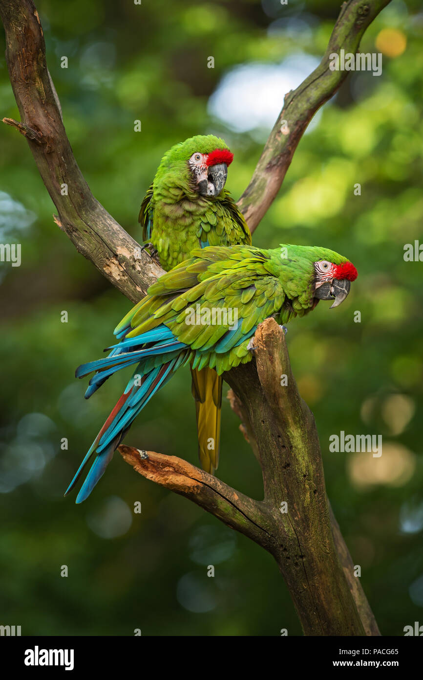 Military Macaw- Ara militaris, large beautiful green parrot from South America forests, Argentina. Stock Photo