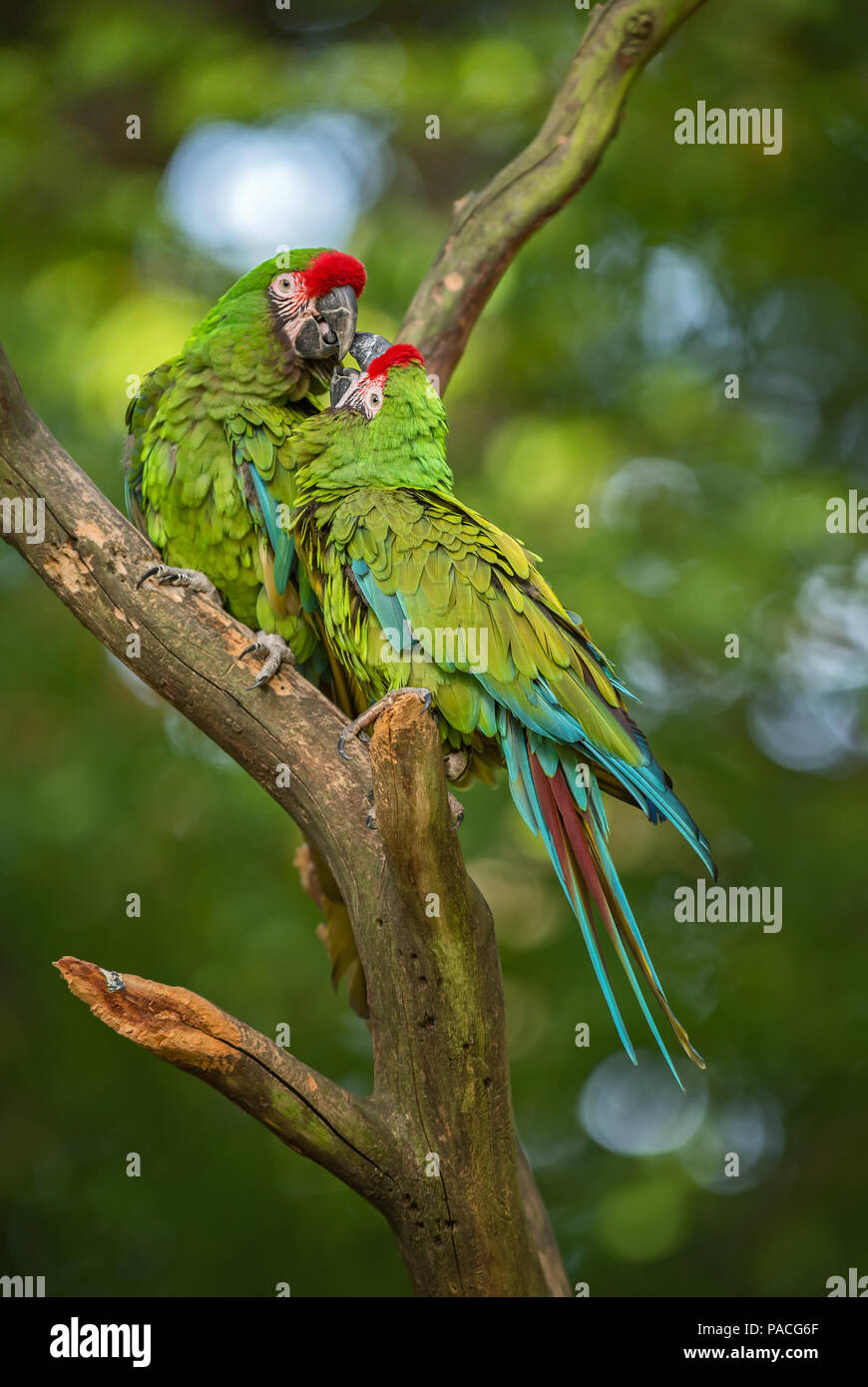 Military Macaw- Ara militaris, large beautiful green parrot from South America forests, Argentina. - Stock Image