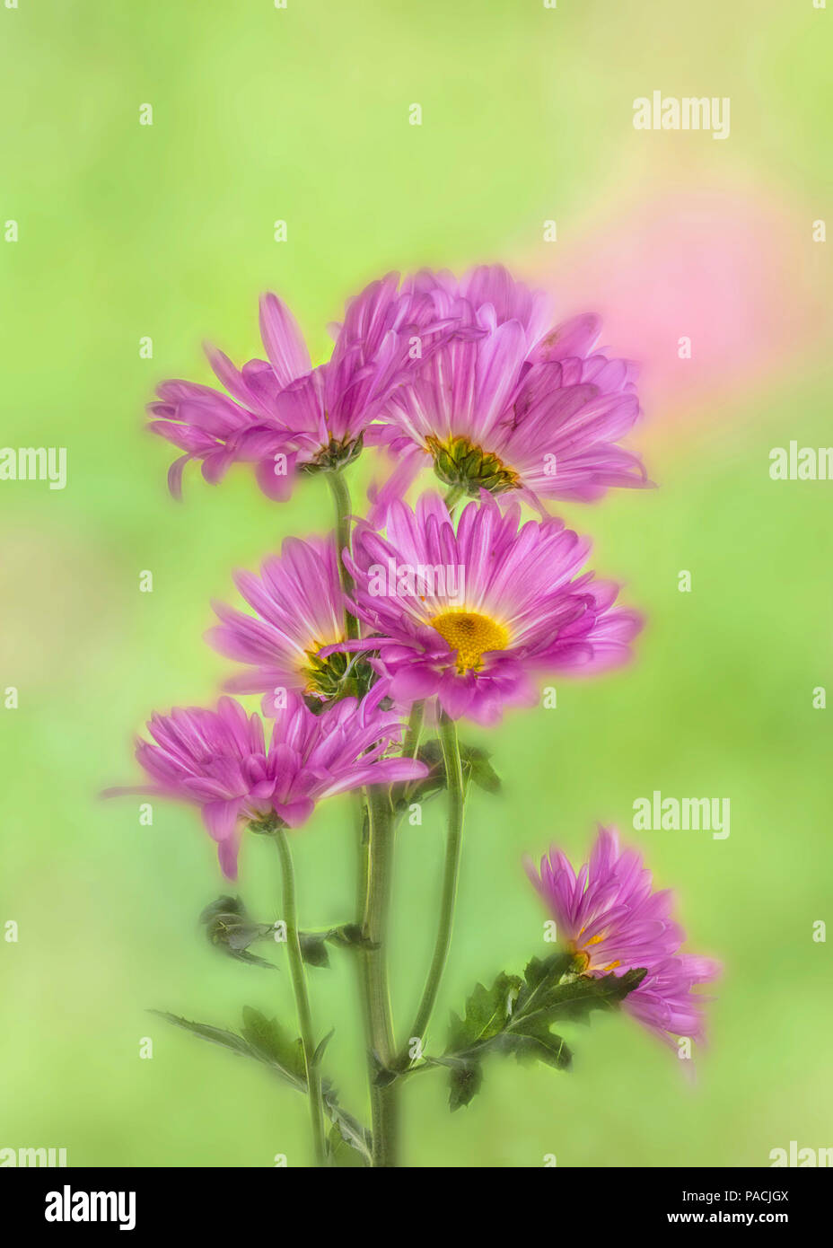 Chrysanthemums or Mums against a green background - Stock Image