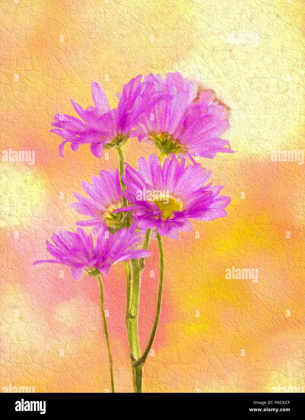 Pink Chrysanthemums or Mums against a yellow background - Stock Image