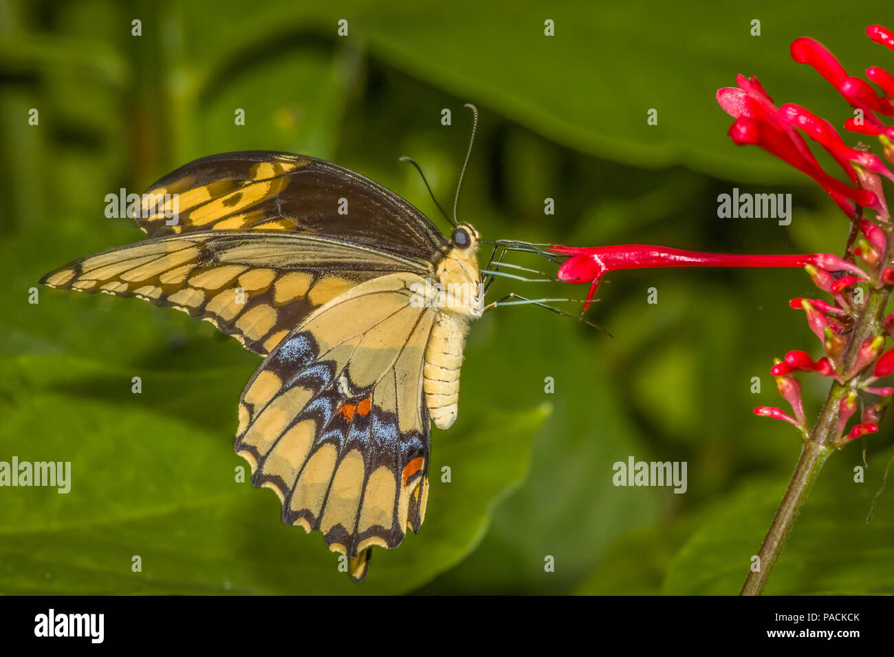 Closeup of Giant Swallowtai ( Papilio crespbontes ) butterfly on red flower - Stock Image