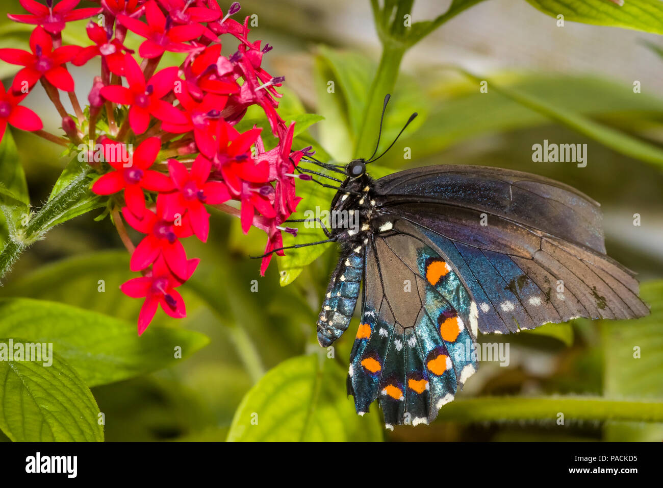 Closeup of Black Swallowtail butterfly also called the eastern black swallowtail or American swallowtail on a red flower - Stock Image