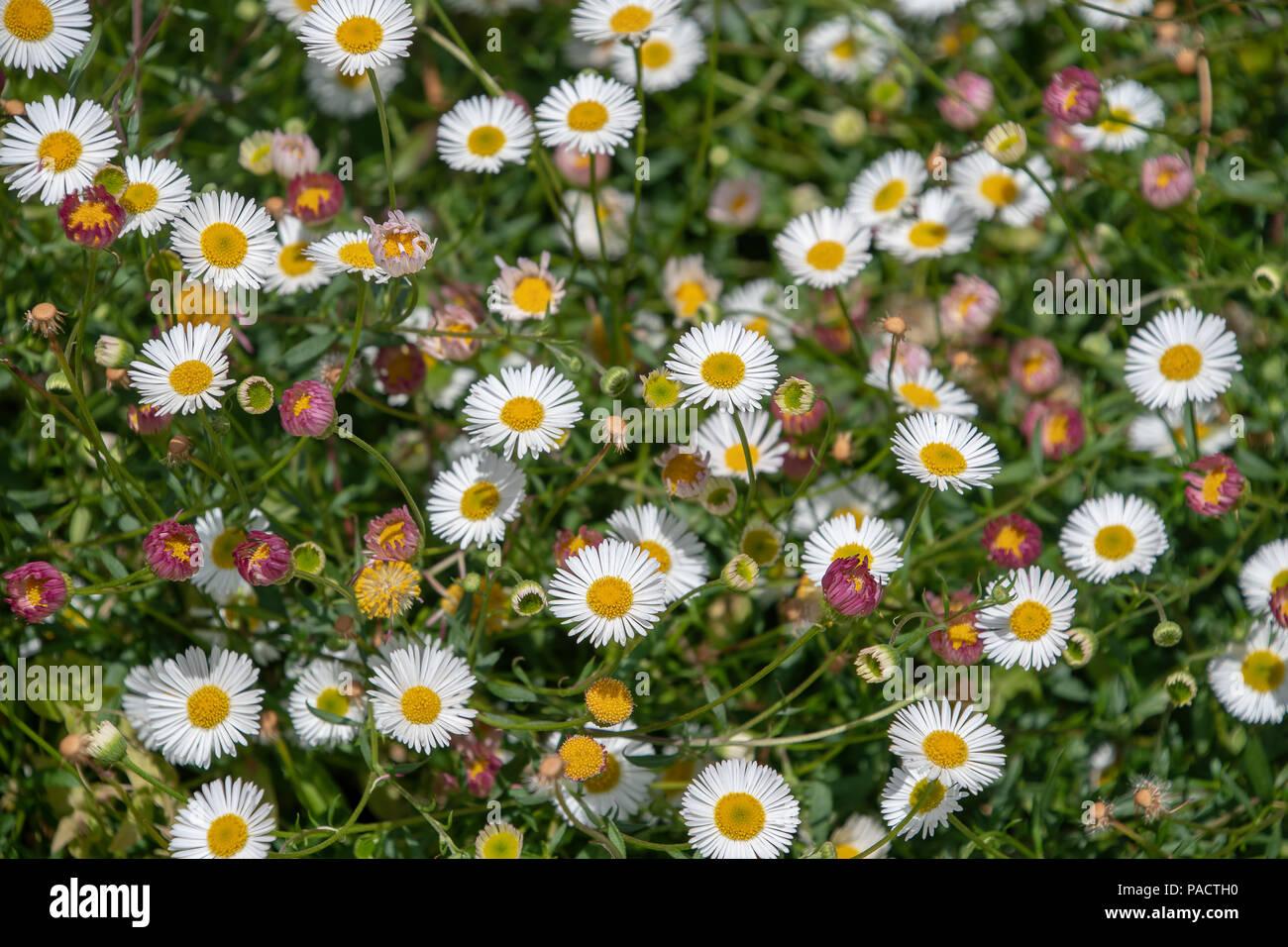Erigeron Karvinskianus Has Daisy Like Flowers With Many Slender Rays