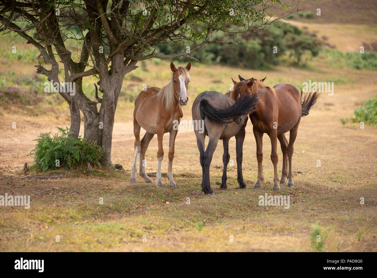 Deadman Bottom, New Forest, Hampshire, UK, 22nd July 2018. Finding some cool, with a little help from a friend. Young New Forest ponies shelter from the sun and the heat in the shade of a tree. The heatwave looks set to continue into another week. Credit: Paul Biggins/Alamy Live News Stock Photo