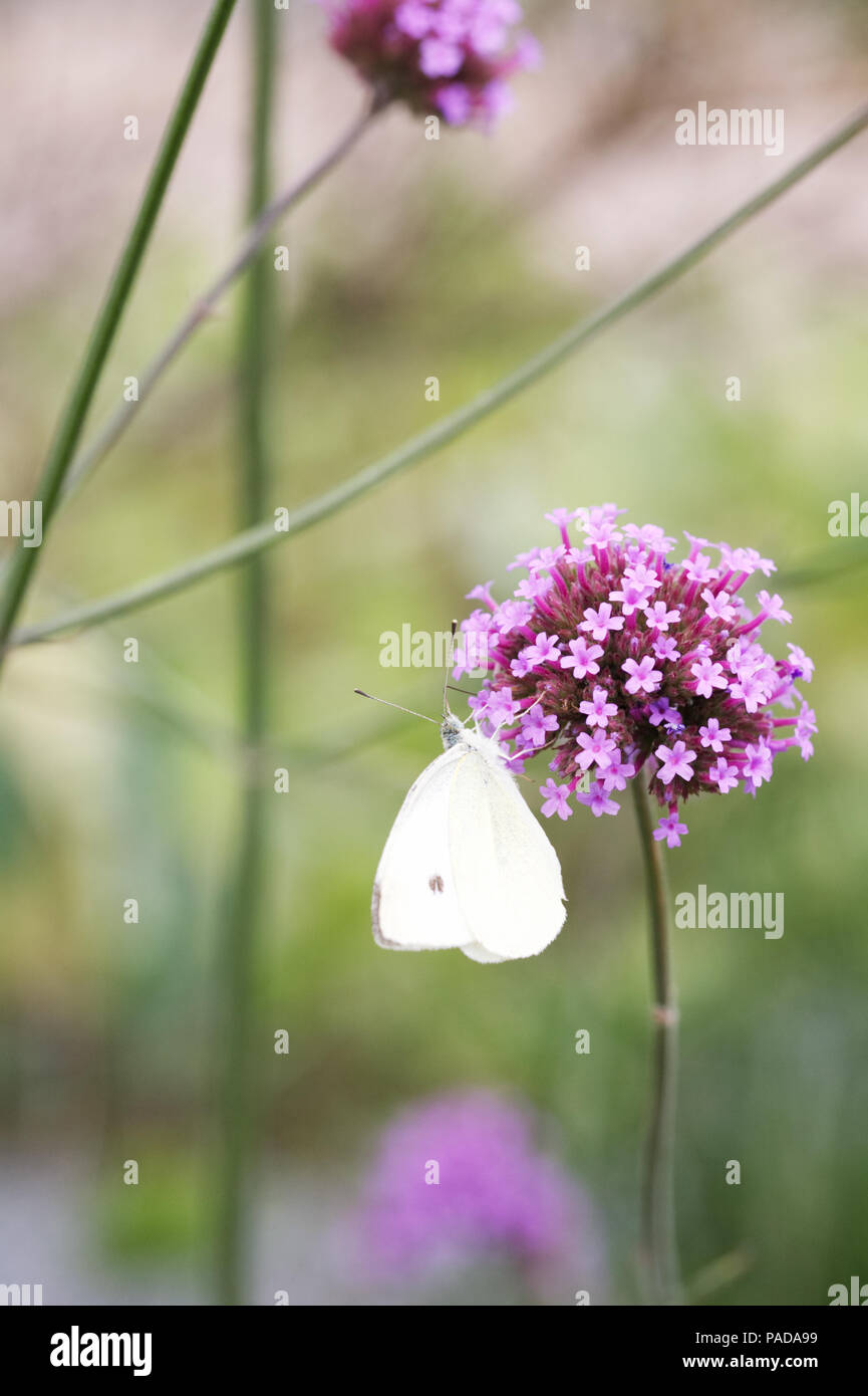 Pieris brassicae feeding on Verbena bonariensis. Cabbage White butterly. - Stock Image