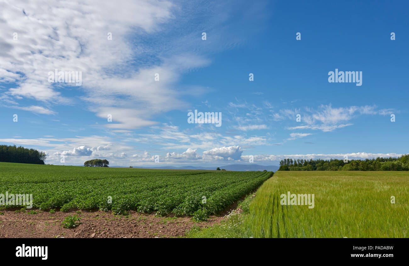Multi crop Farming in the Angus Hills, with Potato and Wheat being grown side by side looking over at the Angus Glens in the distance. - Stock Image