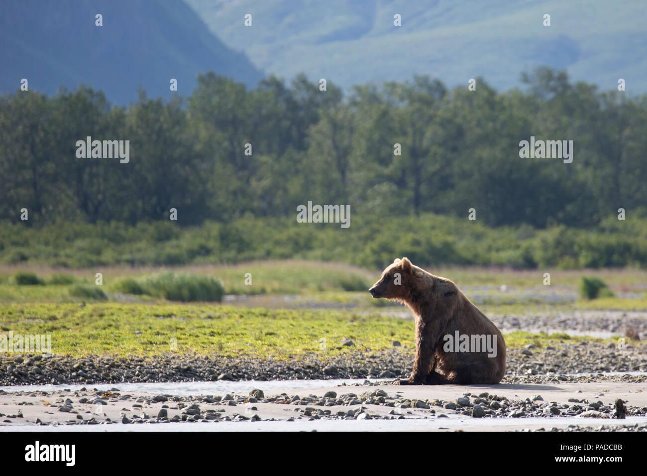Brown Bear (Coastal Grizzly) in Katmai National Park, Alaska - Stock Image