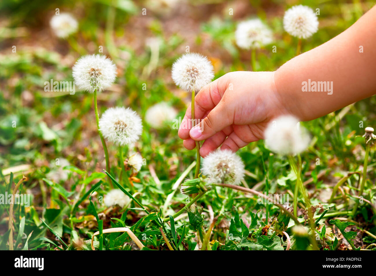 Child hand picking white dandelion. - Stock Image