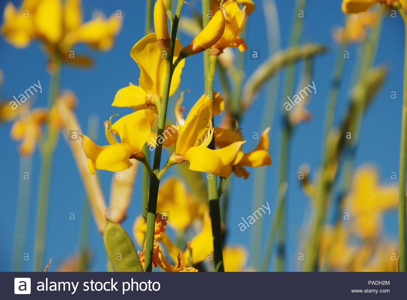 Yellow Broom Flowers And Blue Sky Stock Photo 212969756 Alamy