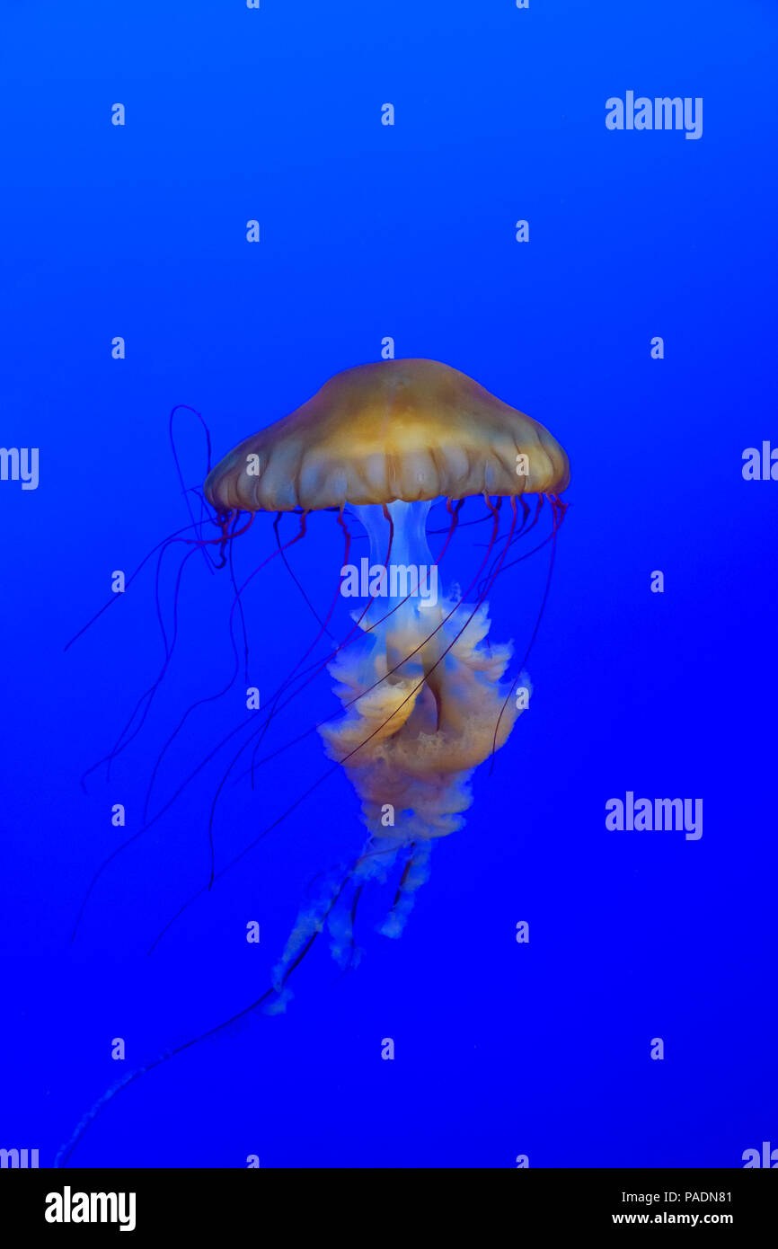 Sea Nettle, Chrysaora fuscescens, floating in the blue waters of Pacific Ocean. - Stock Image