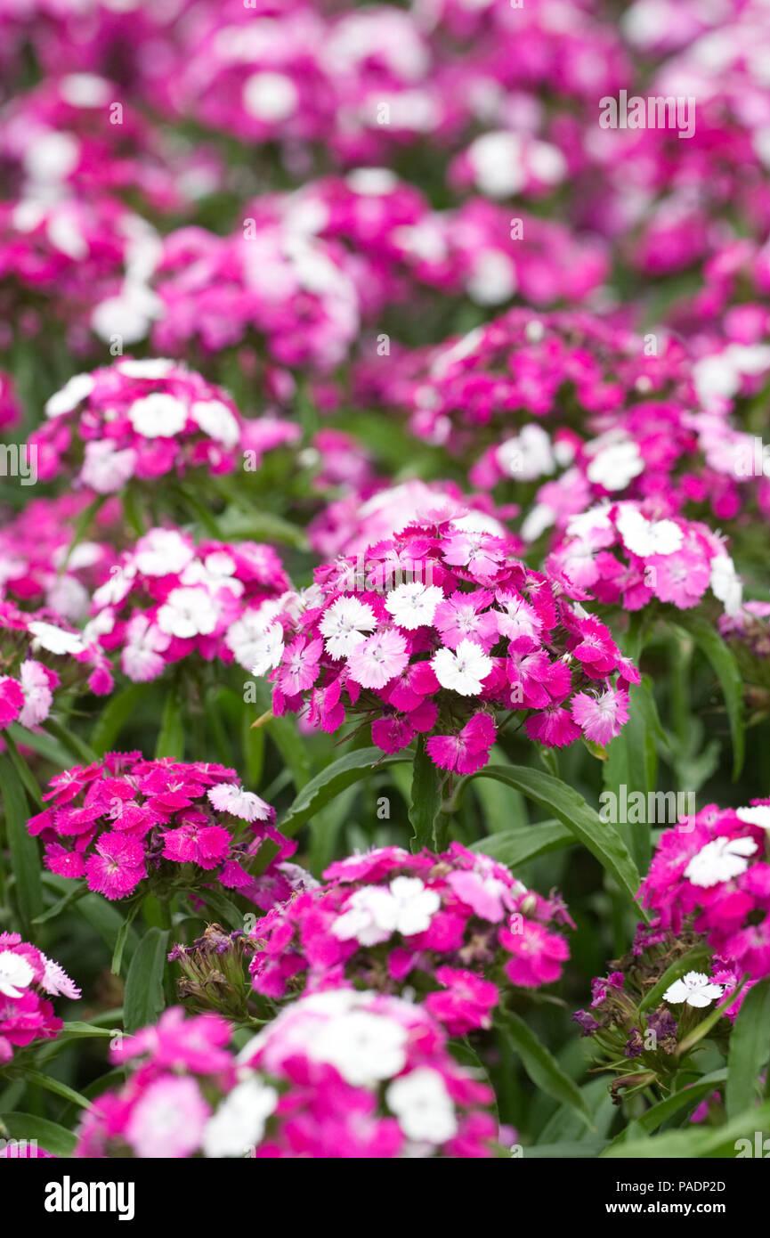 Dianthus F1 'Dash Magician'. Sweet William flowers. - Stock Image