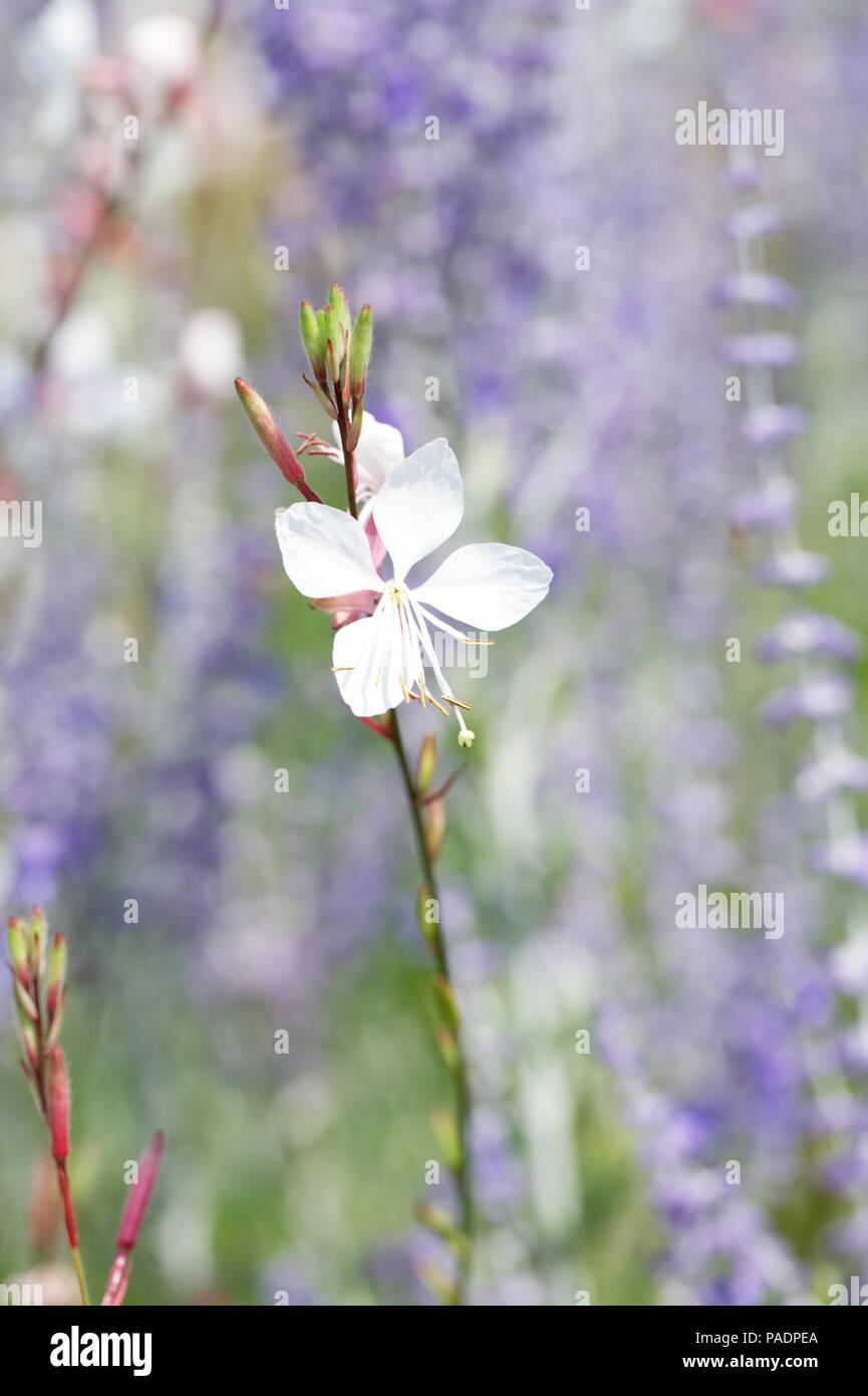 Gaura lindheimeri 'Whirling Butterflies' flower. - Stock Image
