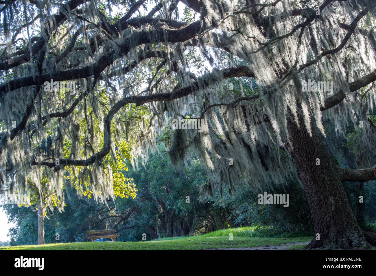 Almost unearthly in it's beauty; Spanish moss on a live oak, Brazos Bend State Park, Tx - Stock Image