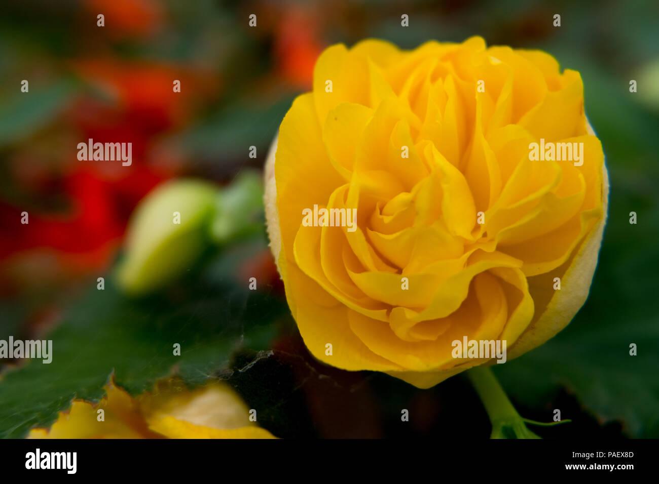 Beautiful Yellow Rose Flower Wallpaper Stock Photo 212998925 Alamy