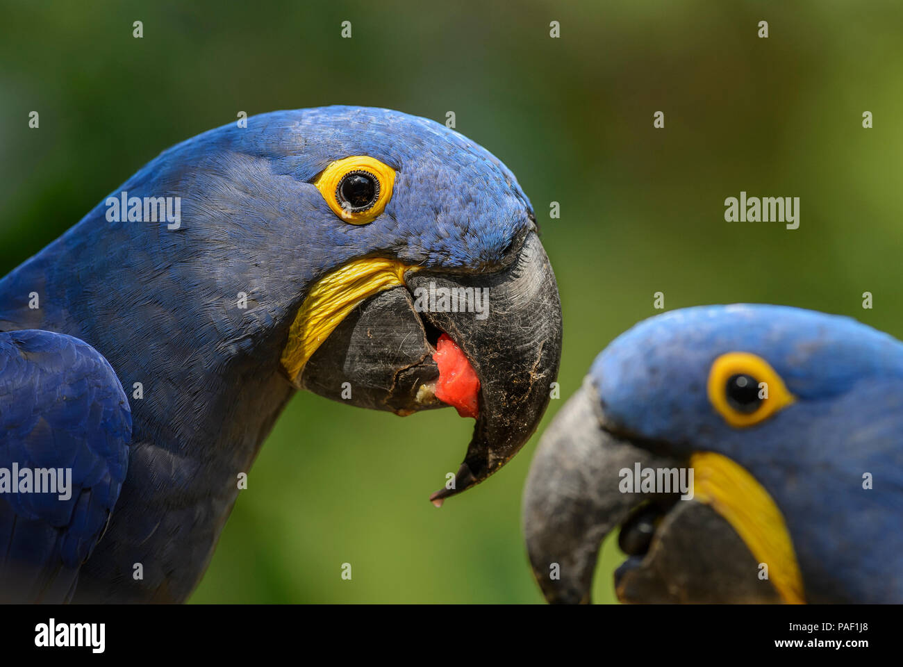 Hyacinth Macaw - Anodorhynchus hyacinthinus, beautiful large blue parrot from South American forests, Amazon basin. - Stock Image