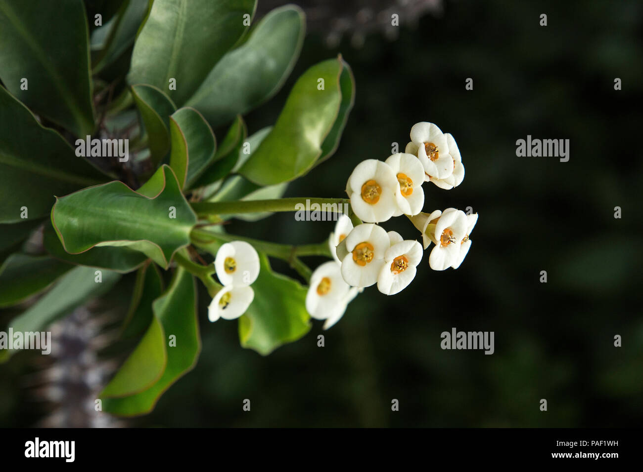 The Small White Flowers Of Euphorbia Milii The Crown Of Thorns