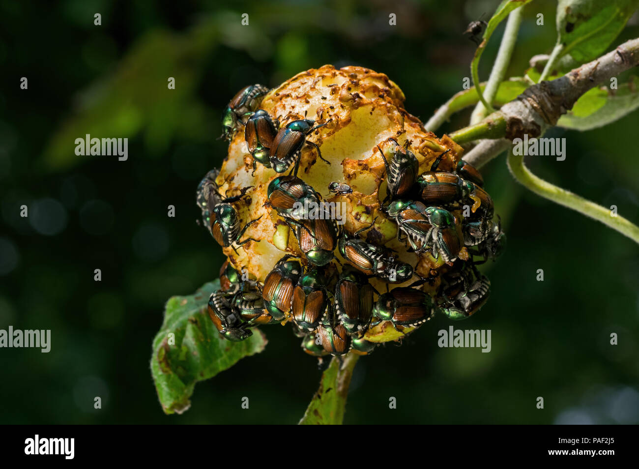 Japanese beetles (Popillia japonica) devouring a hanging apple. It is an incredibly destructive pest of ornamental plants and turf grasses. - Stock Image