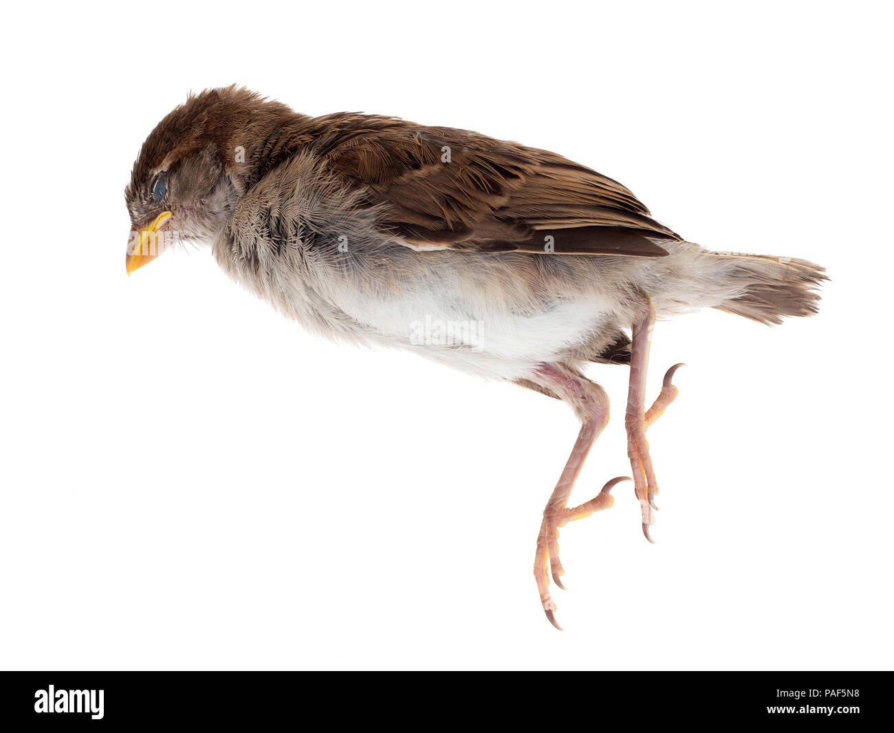 A dead sparrow, sadly killed by my pet cat. On white background. Young bird, just a fledgeling. Passeridae. Stock Photo