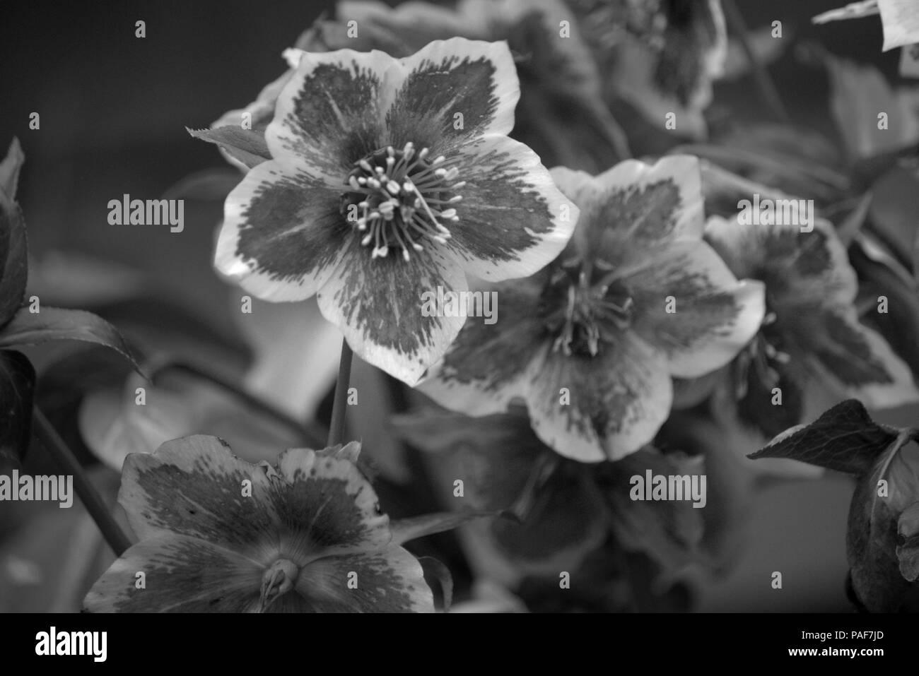 Black hellebore or Helleborus niger flowering bract in monochrome Stock Photo