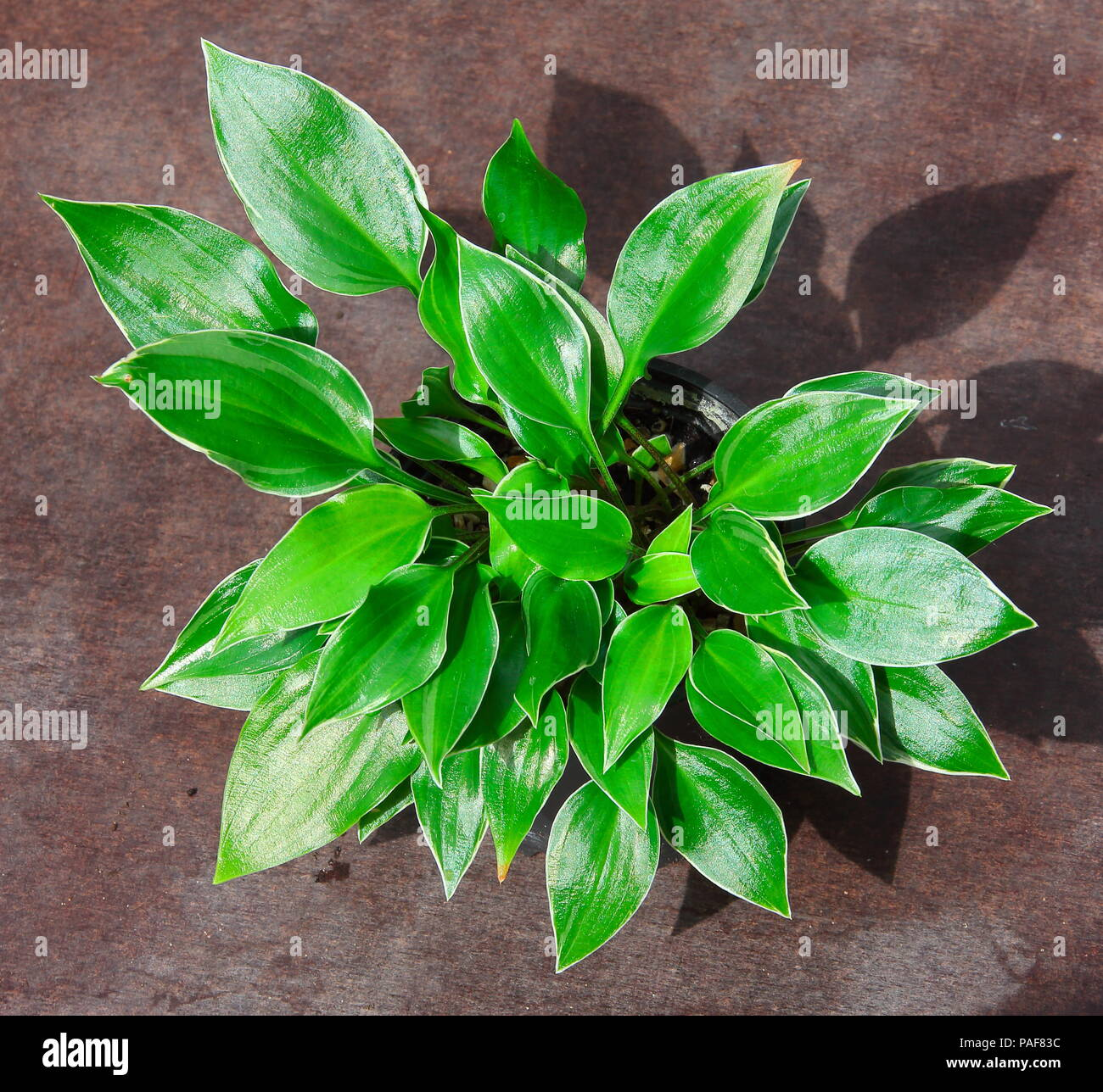 This Hosta Is A Part Of The National Collection Of Small And