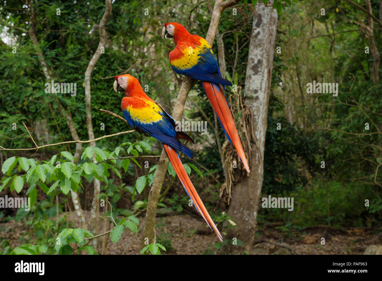 Two Scarlet Macaw parrots - Aras - siting in the tree in Copan Ruinas, Honduras, Central America - Stock Image