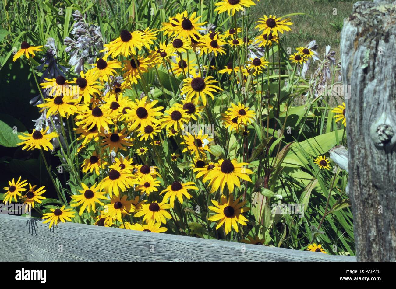 Summer Flowers, Purple Irish, Hosta, Tulips, Botanical Gardens, China  Lake, China, Maine, USA, - Stock Image